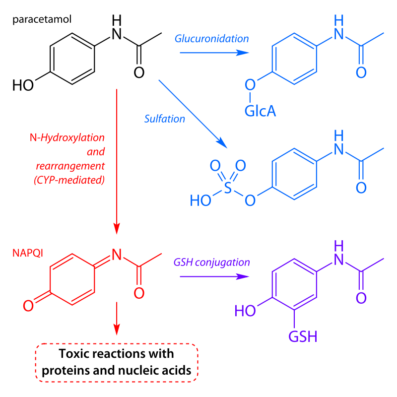 Main pathways of paracetamol metabolism. The pathway leading to NAPQI is shown in red.